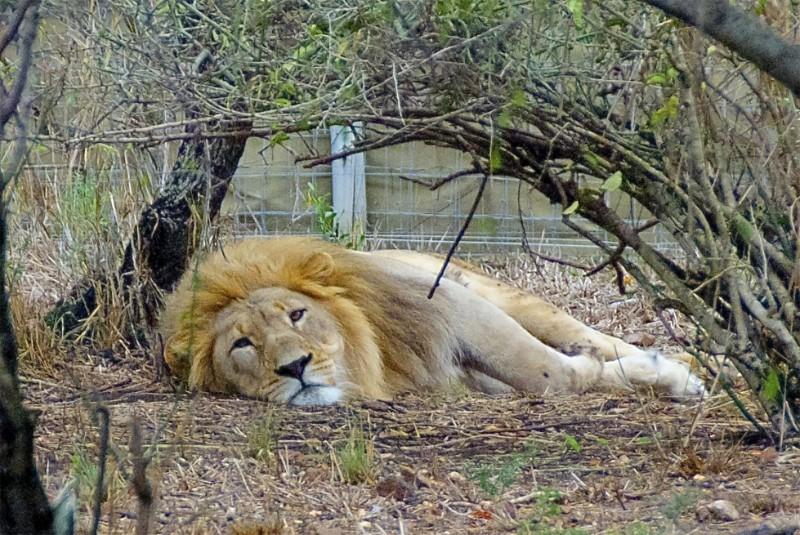 Lejonkungen äntligen fri