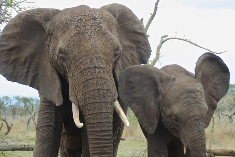 Elefantkontakt