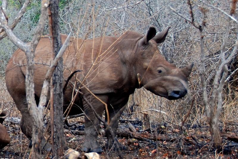 Noshörning – på väg att utrotas?