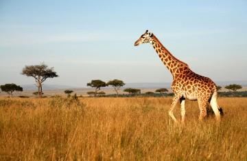 sydafrika-giraff